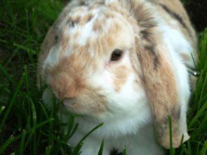 Zakrslý králíček Ňufíček