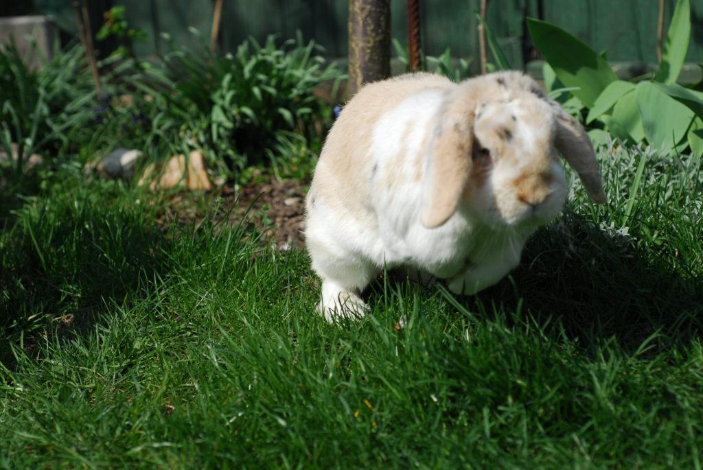 Zakrslý králíček Ňufíček - beránek