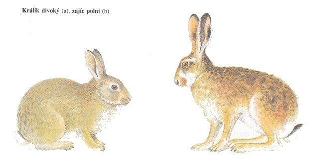 Králík vs Zajíc - Ňufíček
